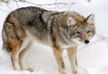 Lo stress del coyote urbano